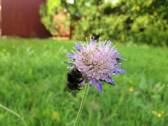 Bumblebee Animal Themes Animals In The Wild Beauty In Nature Flower Insect Nature One Animal Pollination Purple Wildlife
