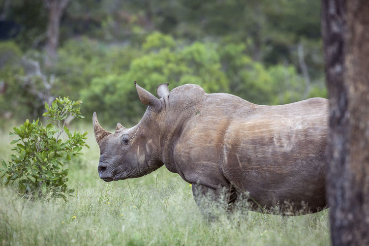 Close-up of rhinoceros standing on land