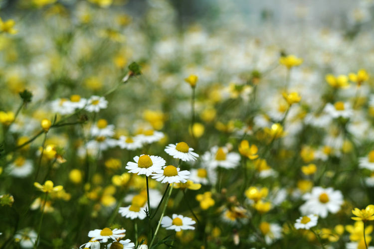 Daisy Flowering Plant Flower Freshness Beauty In Nature Nature Close-up Day Plant