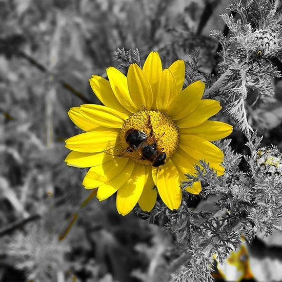 Nature Natureza Naturelovers Colors Colorful Cores Monochrome Monocromatico Spring Black Yellow Bee Igersportugal Picoftheday Photooftheday Flowers Flores Flower
