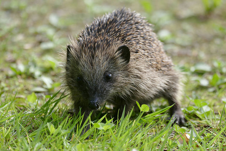 Animals In The Wild Hedgehog Igel One Animal Wildlife Zoology