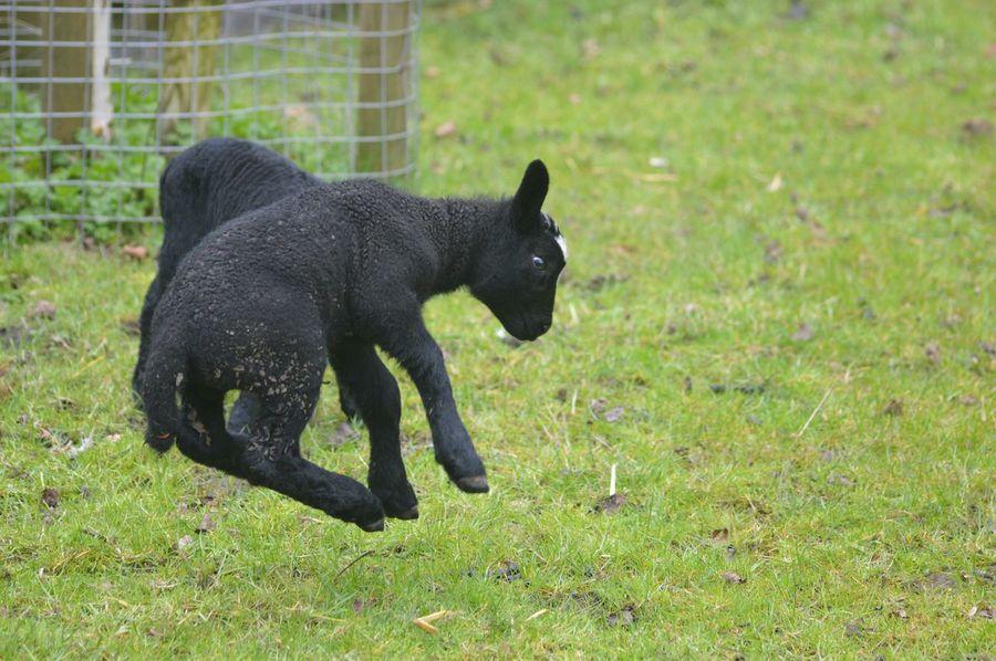 Springtime Spring Lamb's Dreaming My Life Away ♥ Nature_collection Enjoying Nature EyeEm Nature Lover Lamb's Playing