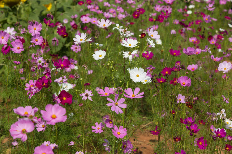 Cosmos flowers in a variety of colors. Cosmos Flower Green Nature Pink Red Backgrounds Flower Flower Collection Flowers Garden Nature_collection Outdoors Park Pink Color Pink Flowers Red Flower Sky White