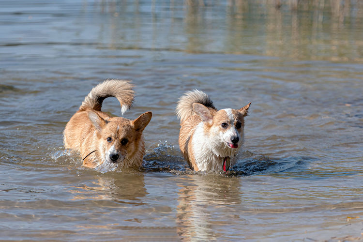 View of dogs in water