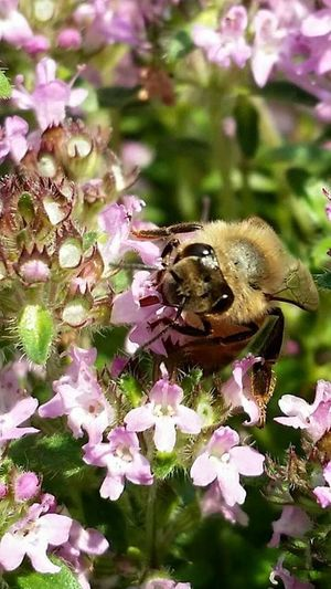 hilo milo Samsungphotography #spring #zoom EyeEmNewHere #Cambridge #beautiful Early Morning Thyme Flower Close-up Bee Insect