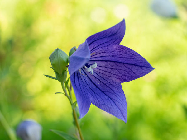 Macro shot of Campanula patula. Field flower Campanula Patula Beauty In Nature Close-up Day Flower Flower Head Flowering Plant Focus On Foreground Fragility Freshness Growth Inflorescence Nature No People Outdoors Petal Plant Purple Selective Focus Vulnerability