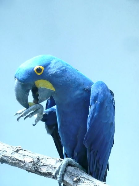 Animal Themes Animal Wildlife Animals In The Wild Beak Bird Blue Blue Macaw Close-up Hyacinth Macaw Macaw Nature No People One Animal Outdoors Parrot Perching