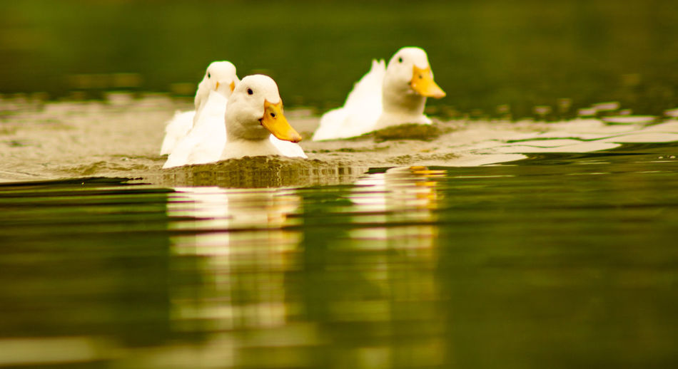 Close-up low level view of aylesbury pekin peking american domestic duck ducks swimming in lake