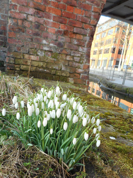 Manchester canal, UK. Blooming Bridge Day Flower Manchester Canal Nature No People Snowdrops Water White