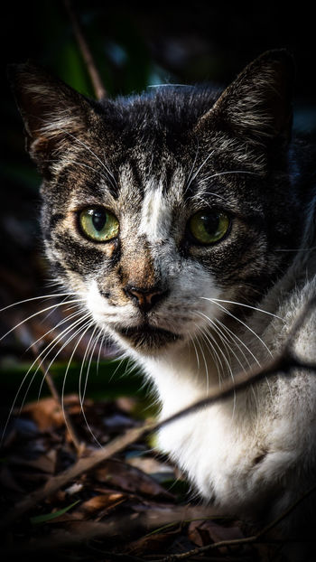 As gatas do quintal de casa... Animal Animal Themes Animals Animals In The Wild Brazil Cat Cat Lovers Cats Cats Of EyeEm Close-up Day Domestic Animals Feline Hello World Looking At Camera Mammal No People One Animal Parque Da Independencia Pet Photography  Pets Portrait Simanovic