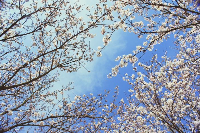 Can't wait to Tree Low Angle View Sky Flower Beauty In Nature Nature Blue Close-up sakura
