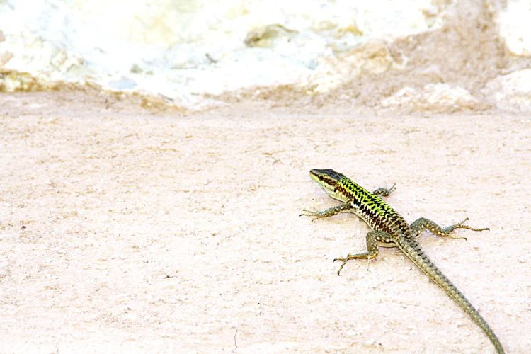 Little lizard on the wall Animal Wildlife One Animal Lizard Animals In The Wild Outdoors Desert Full Length Wall Reptile Nature Close-up
