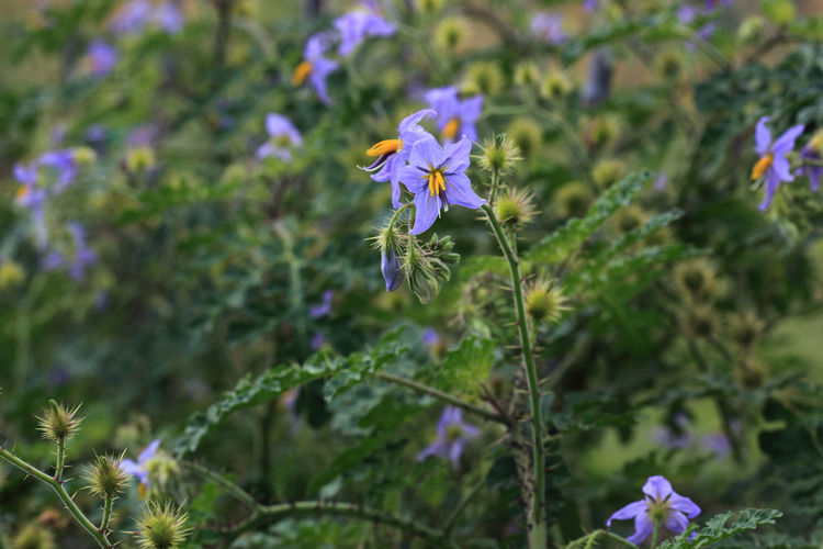 Solanum citrullifolium is a species of nightshade commonly known as the watermelon nightshade Solanum Citrullifolium Beauty In Nature Close-up Day Flower Flower Head Flowering Plant Focus On Foreground Fragility Freshness Growth Inflorescence Land Nature No People Outdoors Petal Plant Plant Stem Purple Vulnerability  Watermelon Nightshade