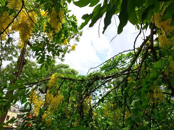 Tree Low Angle View Leaf Green Color Nature Growth Branch Day Beauty In Nature Outdoors No People Sky Freshness