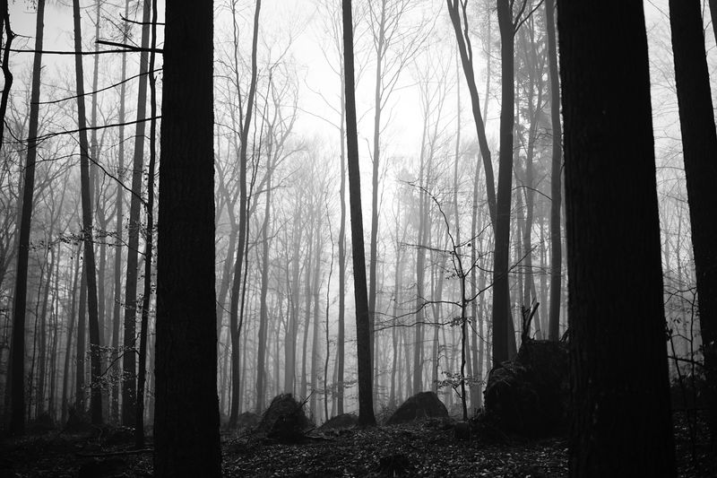 Mystery forest Fog Blackandwhite Tree Forest Plant Land No People Tree Trunk Trunk WoodLand Nature Tranquility Outdoors Scenics - Nature Tall - High