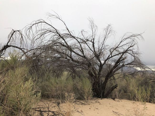 Bare Tree Tree Nature Outdoors No People Grass Day Sand Dune Landscape