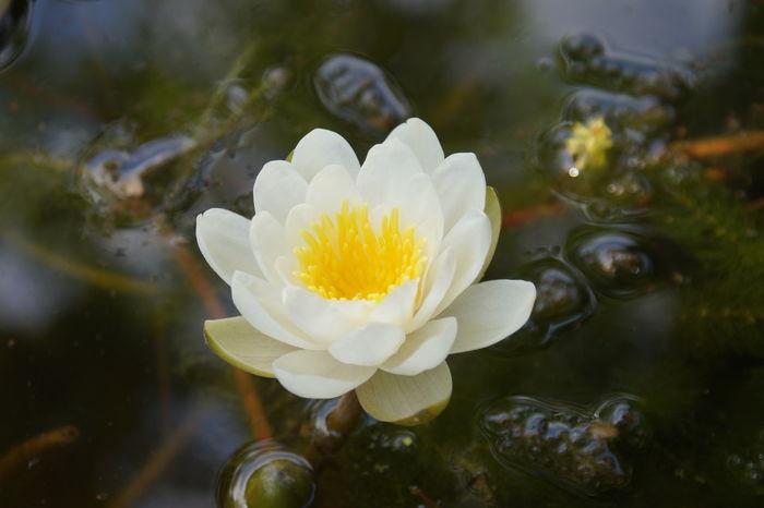 Ninfee in my lake Beauty In Nature Flower Flower Head Fragility Freshness Growth Nature Ninfea Ninfee Outdoors Petal