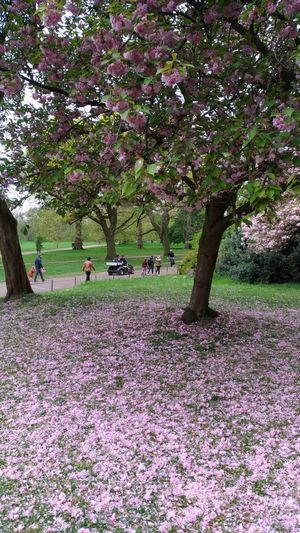 Tree Flower Growth Nature Beauty In Nature Blossom Outdoors Day Springtime Park - Man Made Space Branch Real People Plant Grass Scenics Men Fragility Freshness People London Lifestyle Holiday Hyde Park London Walking Around Nature Hydeparklondon City Cherry Blossom