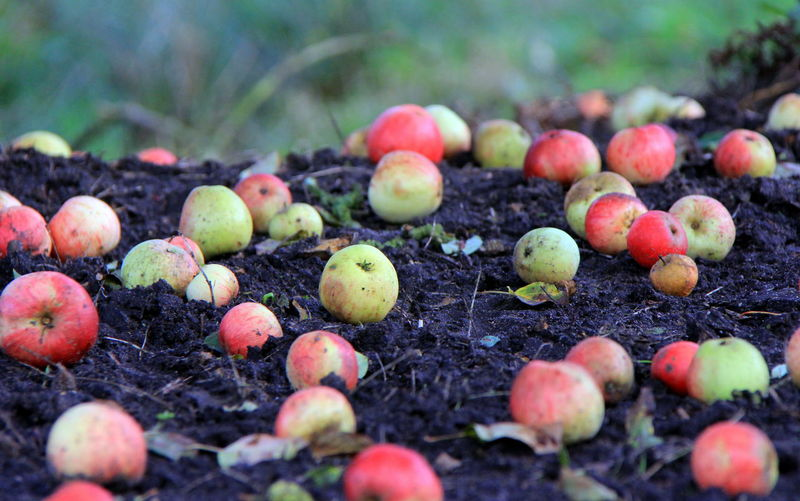 Autumn Close-up Crab Apples Day Fallen Fruit Field Food Food And Drink Freshness Fruit Healthy Eating Nature No People Outdoors