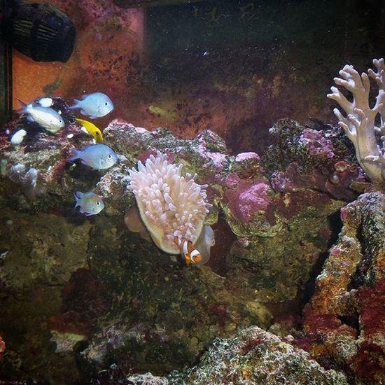 Vita da Acquario : Anemone e i suoi Pesce Pagliaccio , Virdis e comparse...