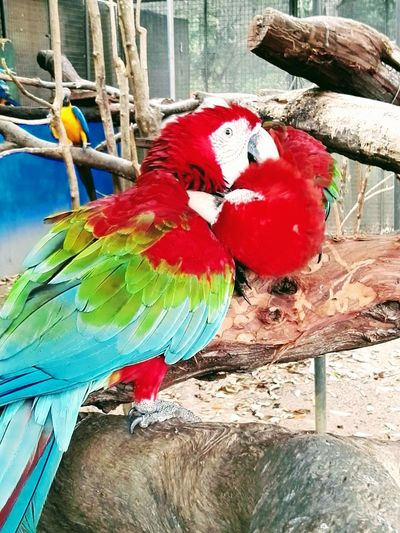 Animal Theme Scarlet Macaws Blue & Yellow Macaw In BackgroundClose-up Multi Colored Birds Perched On A Branch Outdoors No People Bright Colours My Eye Is On You Bird Love In A Cage EyeEmNewHere