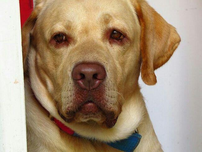 Labrador Dog A Dogs Life Sx50hs