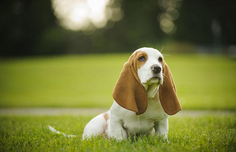 Basset hound sitting on grass