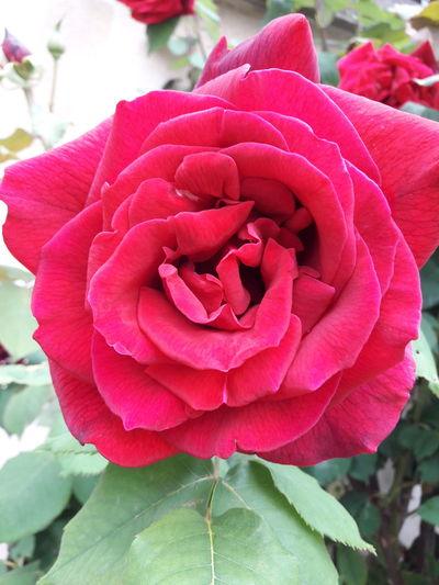 Flower Head Flower Peony  Pink Color Petal Rose - Flower Red Close-up Plant