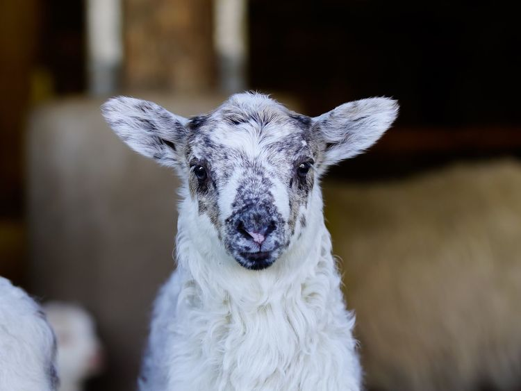 Easter Ready Lamb Lamm Schaf  Animals Tiere Sheep Photooftheday Eye4photography  Easter Lamb Osterlamm