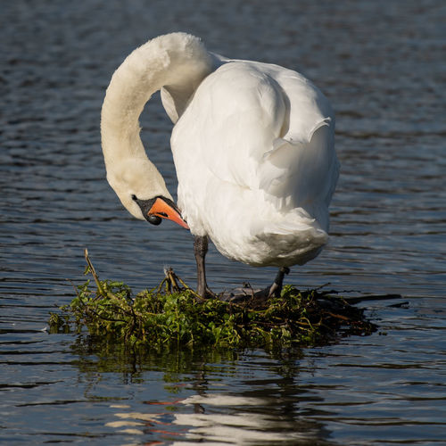 White duck on a lake