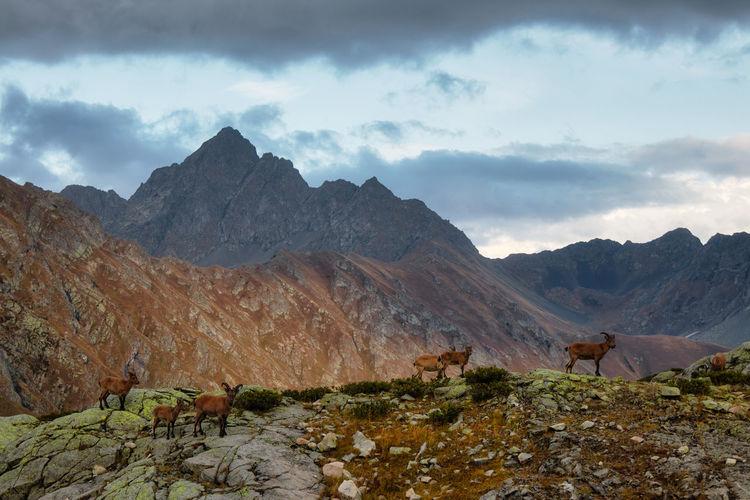 The west caucasian tur  capra caucasica. caucasian mountain goats in their natural habitat