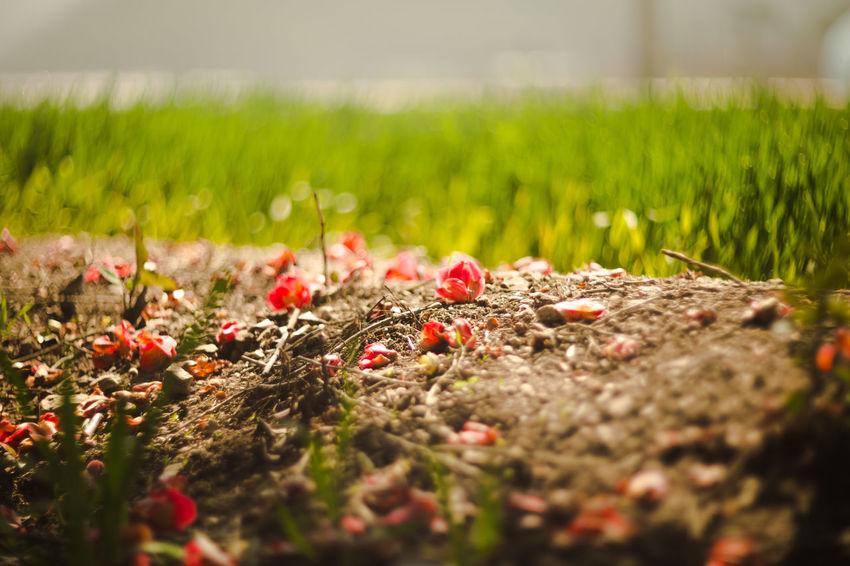 낙화 Korea Spring Dongbag Red Poppy Greenhouse Flower Rural Scene Field Close-up Grass Sky Landscape Wildflower Blooming Daisy Flower Head Single Flower