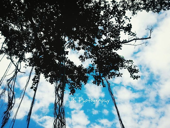 Skylovers Banyan Tree Sunlight ☀