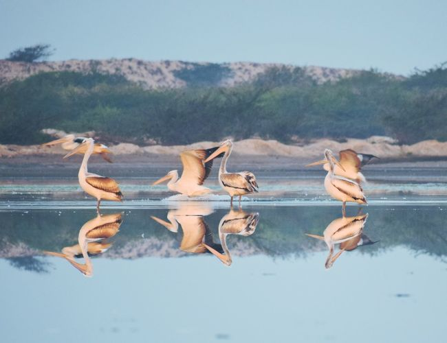 pelicans morning time Animals In The Wild Animal Wildlife Animal Nature Outdoors Water No People Bird Sky Beauty In Nature