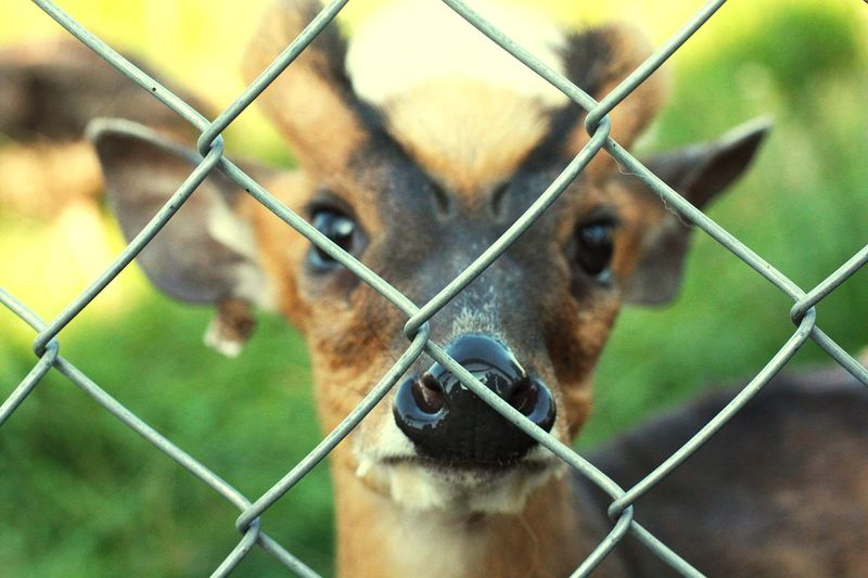 Little roedeer Roedeer Roé Nature Zoo Zoo Animals  Protection Barbed Wire Oil Pump Safety Chainlink Fence Security Fence Animal Eye Animal Face Animal Ear