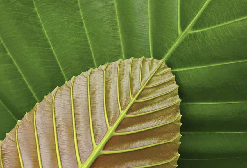 Beautiful pattern of leaf Leaf Plant Part Green Color Close-up Growth Beauty In Nature Plant Leaf Vein No People Natural Pattern Nature Pattern Day Leaves Fragility Vulnerability  Banana Leaf High Angle View Freshness Outdoors Palm Leaf