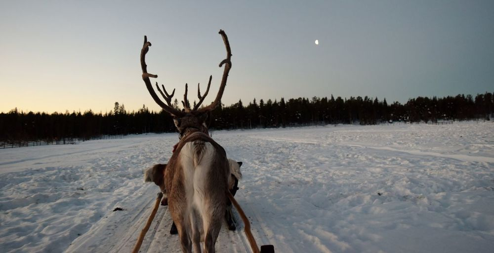 Reindeer On Snow Field Against Sky