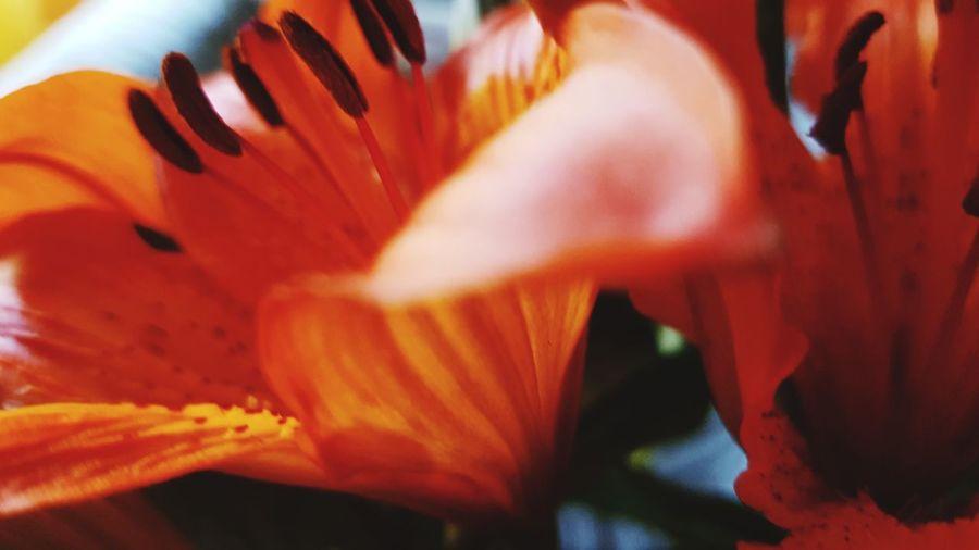 Flowers lover Flower Head Lilylove Orange Flower Eyeemflowerslover Petals Of Flowers Staminate Flowers Pistil And Stamens Eyeemflowerlover EyeEmMarketSeller! EyeEmNewHere Eyeem Market Flower Head Flower Full Frame Petal Backgrounds Stamen Close-up