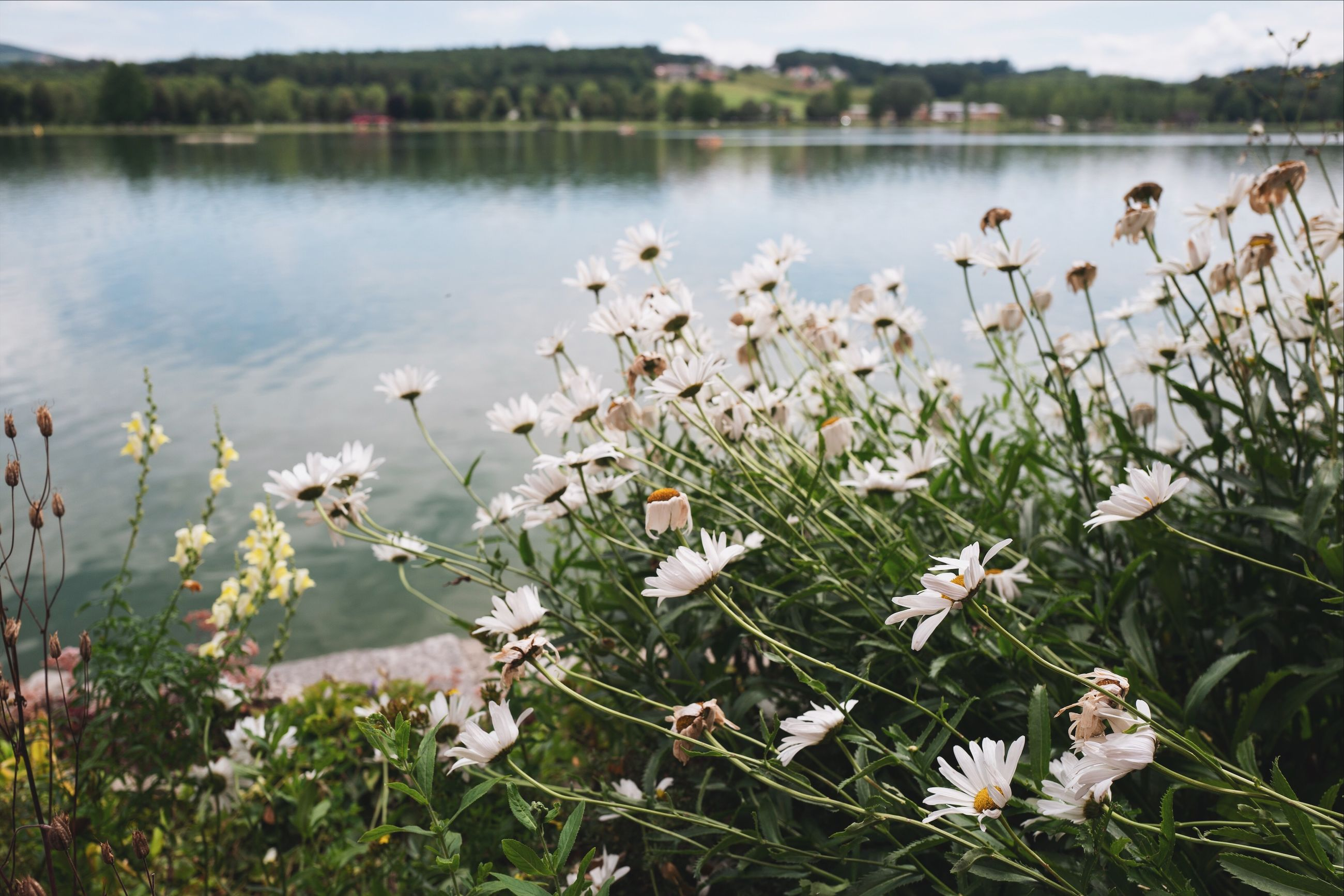 flower, plant, flowering plant, fragility, beauty in nature, vulnerability, growth, freshness, nature, day, focus on foreground, close-up, tranquility, no people, water, white color, lake, land, petal, outdoors, flower head