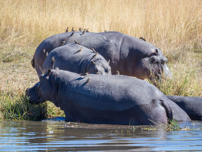 Three hippotamus at riverbank of kwai river, moremi game reserve, botswana, africa