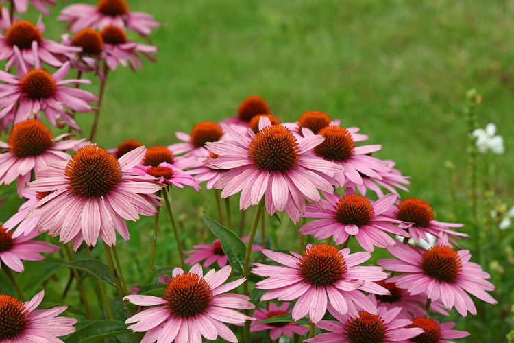 Coneflower, Echinacea flowers, close up Nature Asteraceae Beauty In Nature Blooming Close-up Coneflower Day Echinacea Echinacea Flower Echinacea Purpurea Flower Flower Head Fragility Freshness Growth Nature Nature_collection Outdoors Petal Plant