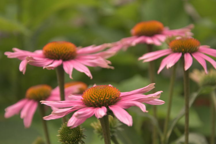 Beautiful pink flowers Beauty In Nature Close-up Coneflower Day Flower Flower Head Flowering Plant Focus On Foreground Fragility Freshness Growth Inflorescence Nature No People Outdoors Petal Pink Color Plant Plant Stem Pollen Vulnerability