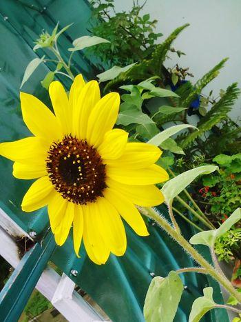 Beautiful Flowers Sunflowers🌻