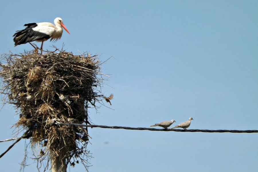 Animal Themes Animal Wildlife Animals In The Wild Beauty In Nature Bird Bird Nest Clear Sky Day Low Angle View Nature No People Outdoors Perching Sky Stork Togetherness Two Animals White Stork