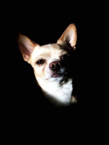 Cihuahua Dog Foneblack Looking At Camera One Animal Portrait