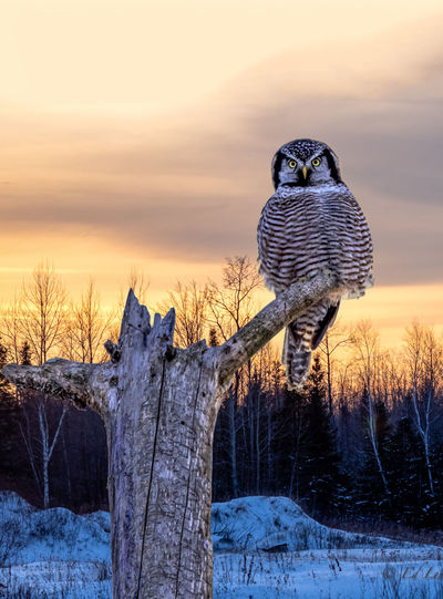Northern hawk owl perching on a dead tree during the winter.  beautiful sunset sky behind.
