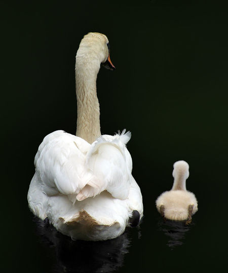 A swan with her young. Animals Baby Birds Chick Cute Feathers Funny Humour Mama Mother Parent Swans Swimming Together Young