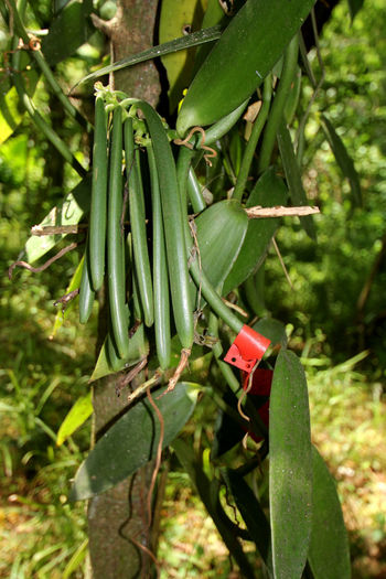 Agriculture Orchid Vanilla Planifolia Close-up Green Color Growth Jamaica No People Outdoors Pods Spice Vanilla