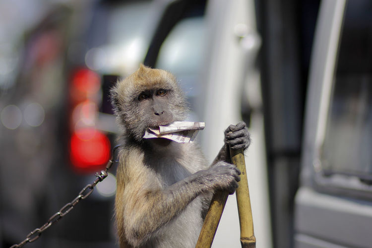 Exploitation of monkeys was forced to act for busking business at the crossroad of tasikmalaya road.
