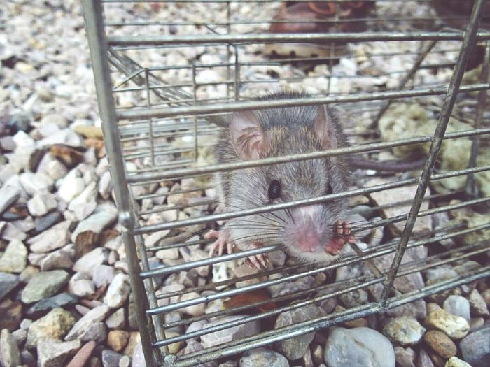 today's Cage catch: a Rat . tried to move into the attic. Animals Pets Corner